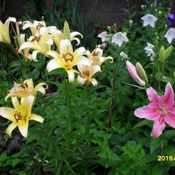백합의 향기 가득한 석천의 초여름